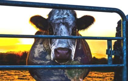 Cowspiracy-1-537x341